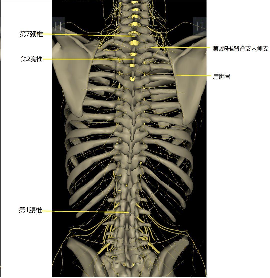 背部结构_上后背痛到底怎么办?_背部