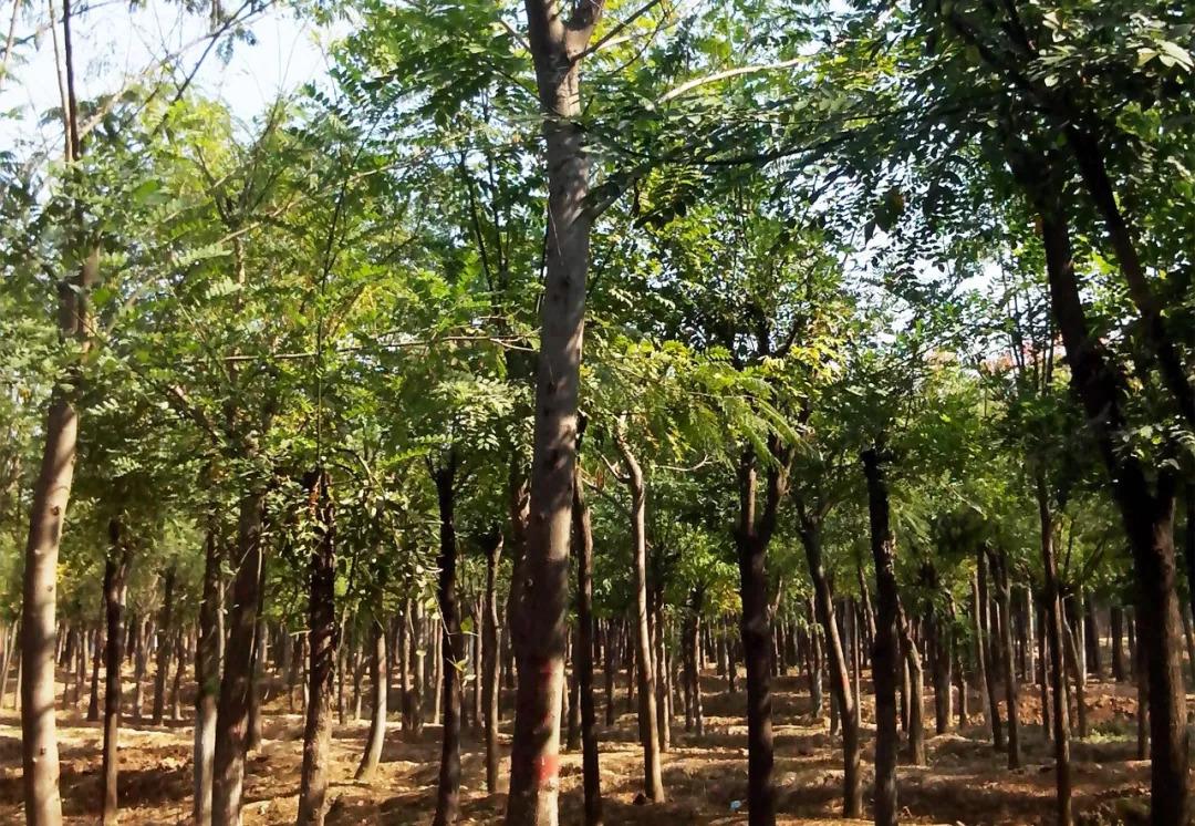 湖南香樟生长环境 - 园林百科 - 造价通百科