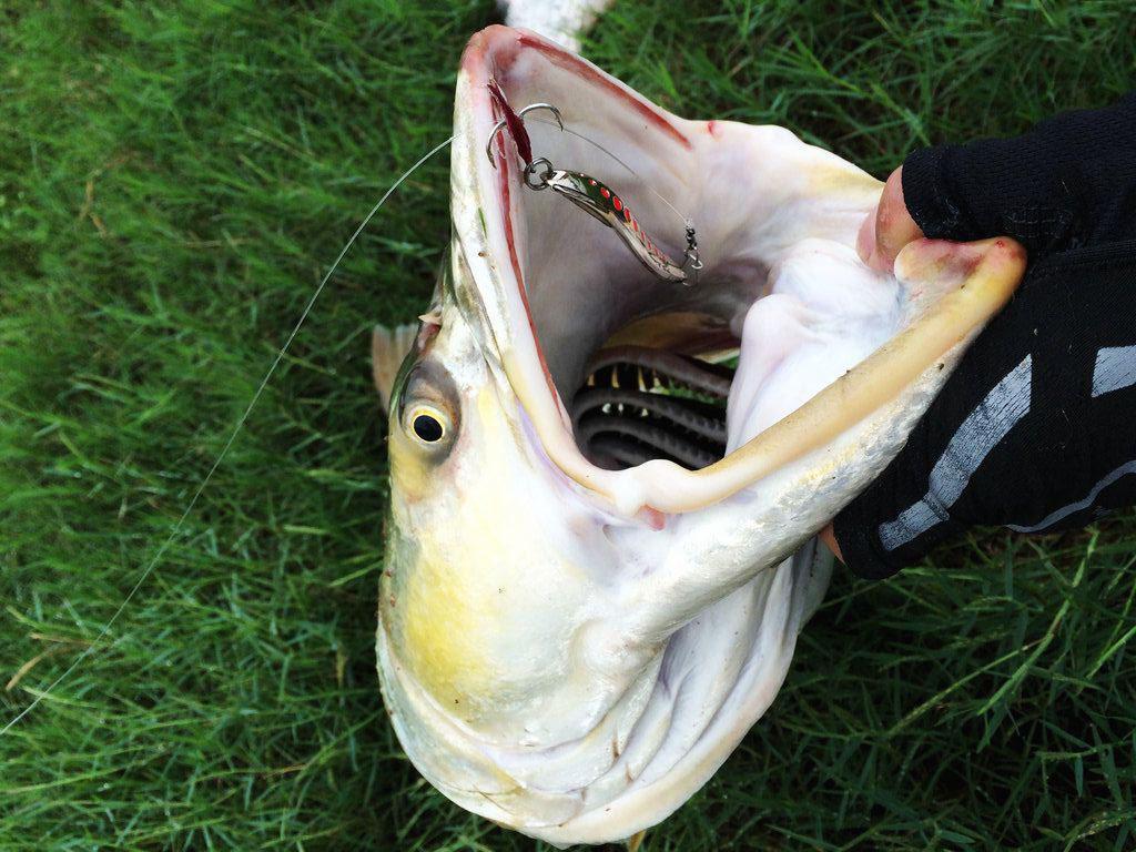 此鱼游泳迅速,行动敏捷,被广大钓友称为 水老虎
