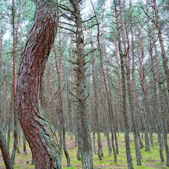 俄羅斯飛地神秘跳舞森林 各種奇怪現象科學也解釋不了