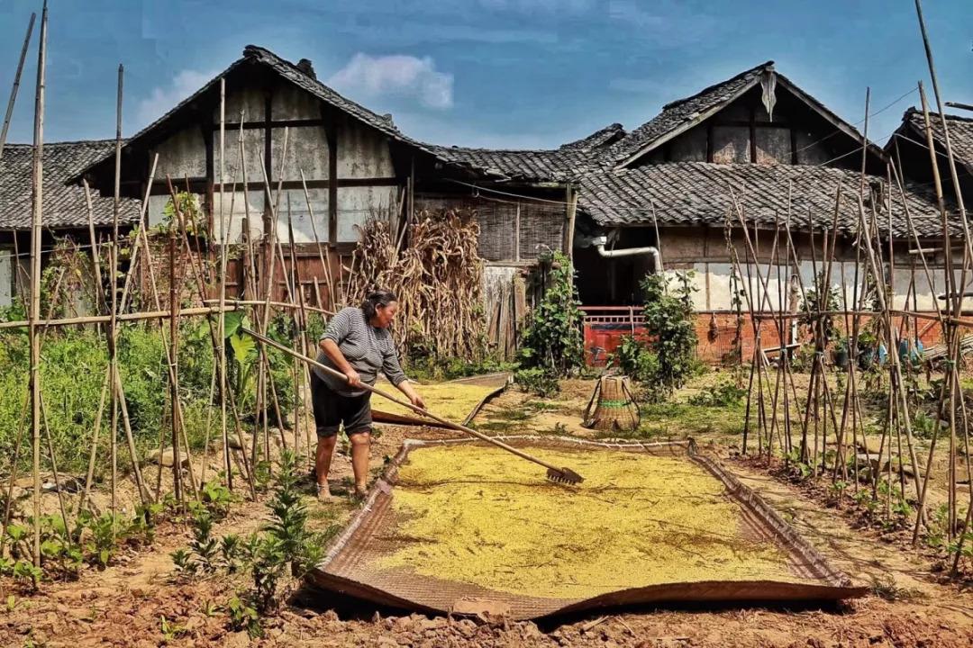 【乡村振兴】醉了,一幅川西坝子秋收美景图,带你去看邛崃的乡村振兴!图片