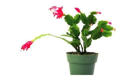 室内花卉盆景最合适的摆放品种有哪些