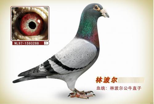 赛鸽豪门品系-林波尔鸽系竞翔