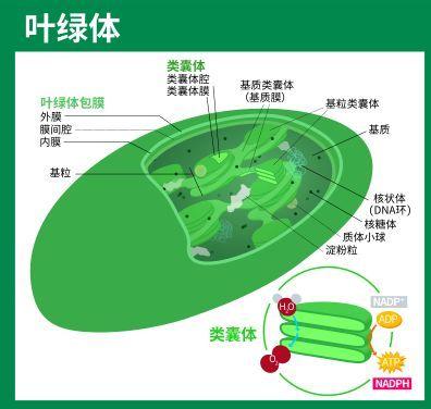 叶绿体简易图解   维基百科图片