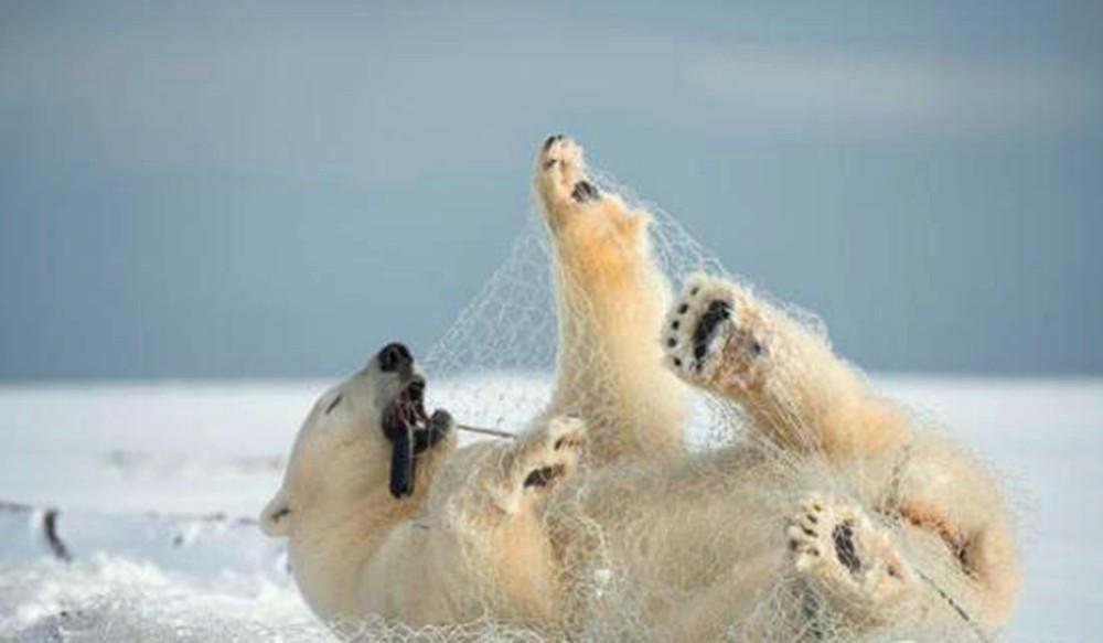 北极熊雪地上挥舞不停以为在玩,近看知咋原因,蟒蛇_捉回事的纪录片图片
