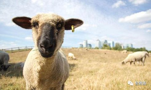 欧美撸15p?_伦敦生活 | 在金融城畔撸羊是一种怎样的体验?