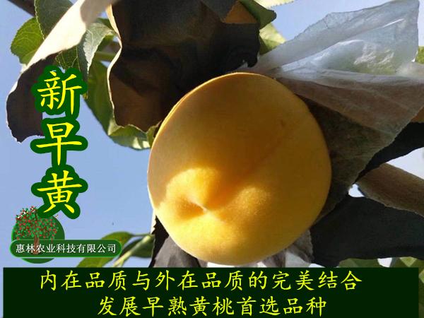 早熟黄桃新品种