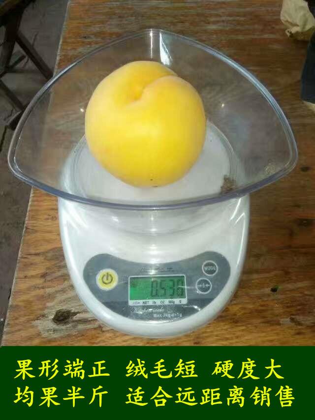 早熟黄桃树苗新品种