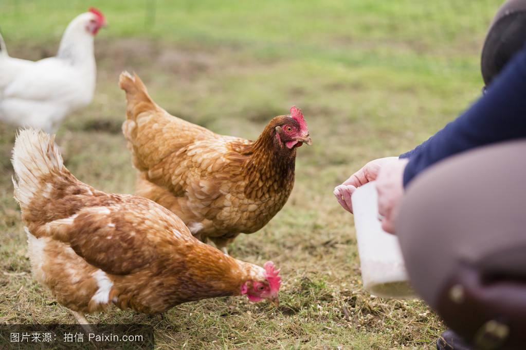 鸡拉稀吃什么药好得快,治鸡拉稀用什么药治鸡拉稀特效药