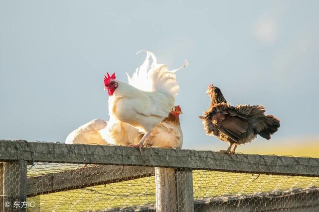 鸡得了鸡痘怎么治疗:鸡痘用什么药鸡痘吃什么药效果好