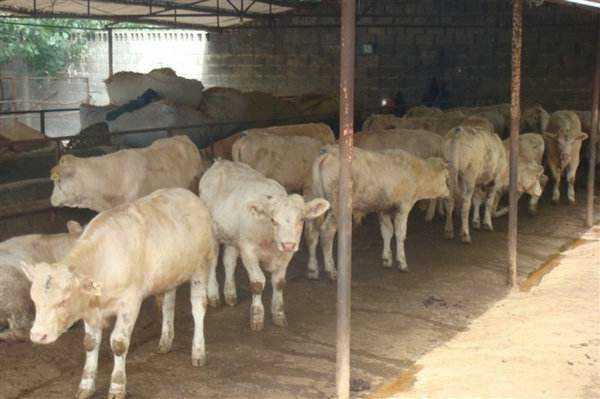 牛口蹄疫怎么预防牛口蹄用什么药,牛口蹄疫吃什么药效果好