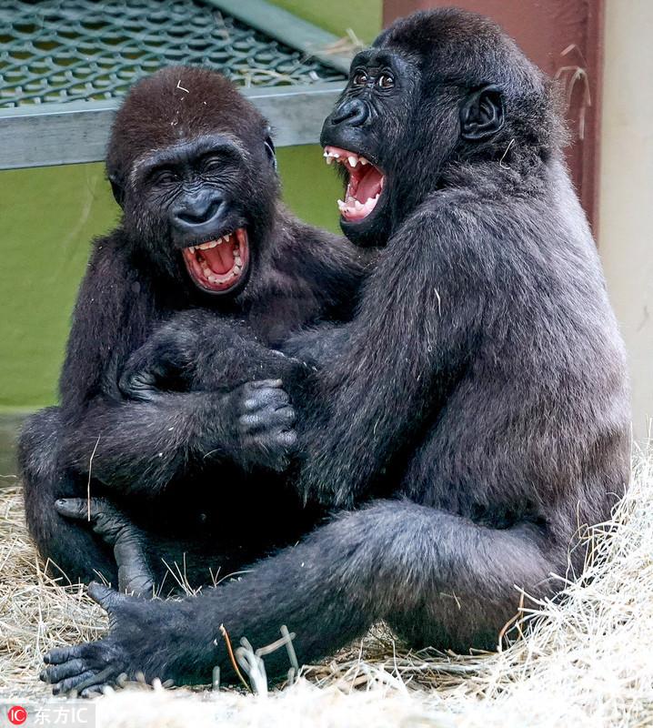 美猩猩兄妹把木屑當雪玩 笑成「小傻子」