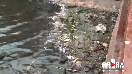 这条河大量鱼群翻白肚 相关部门:高温所致