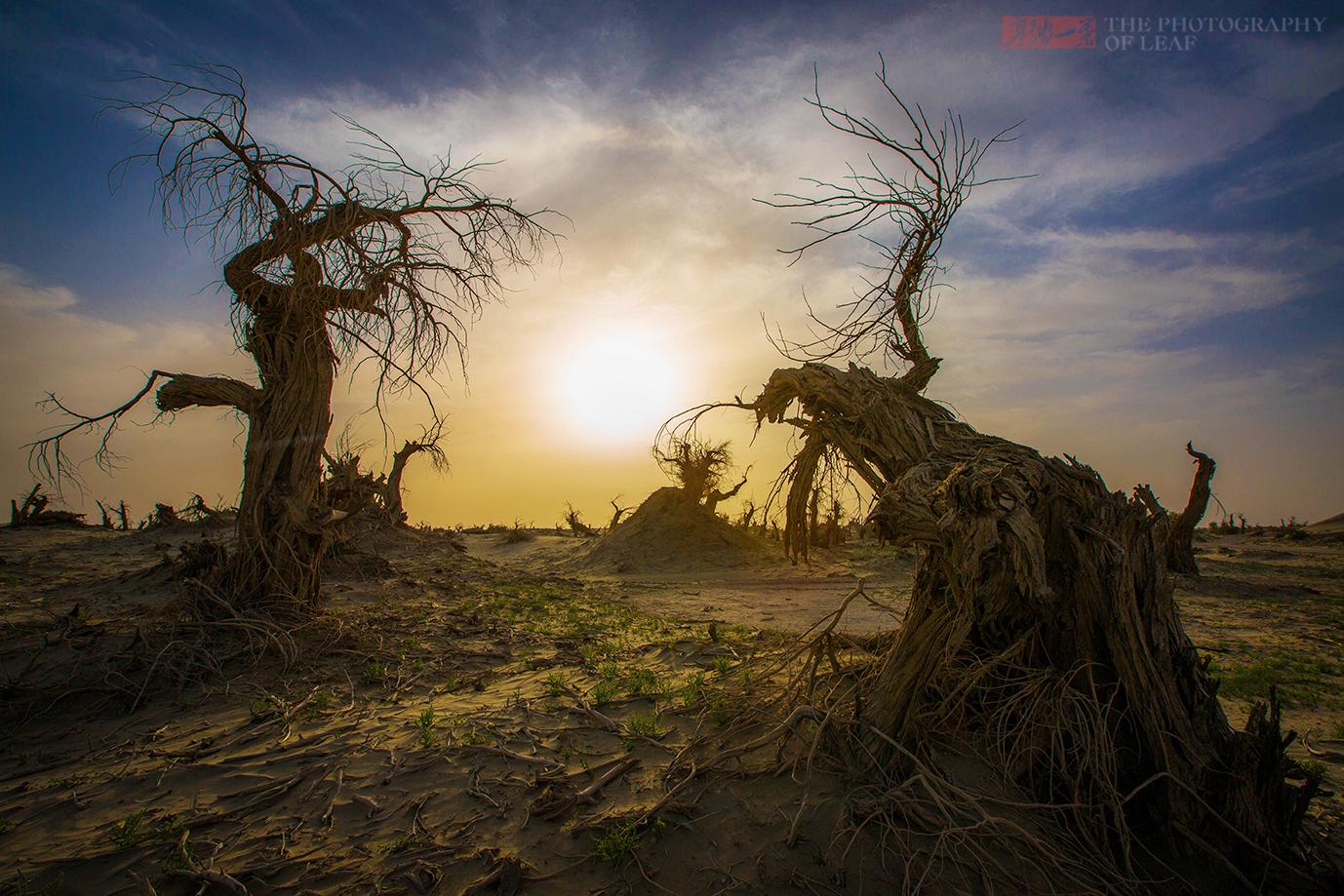 新疆塔克拉玛干沙漠深处,上万年的胡杨林整片枯死,死因成谜