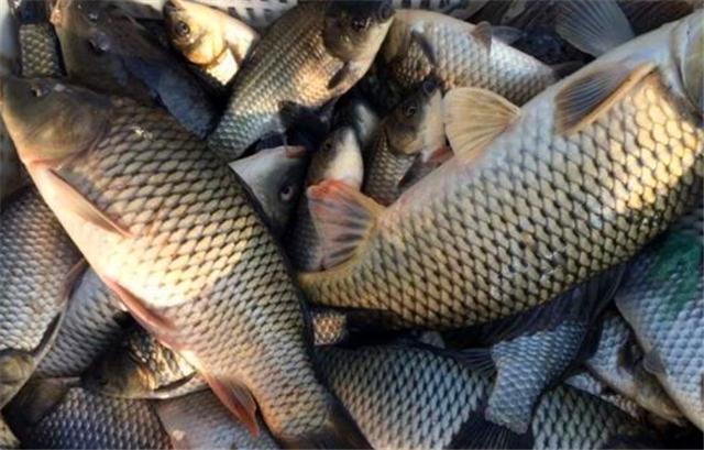 早春钓鲤鱼小药专钓大鲤鱼的天然饵让你用了还想用越钓越过瘾