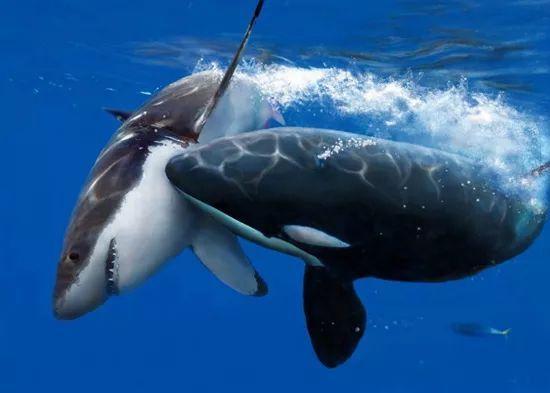 比巨齿鲨还恐怖的鲨鱼和虎鲸PK 结果有点出人意料 搜狐宠物 搜狐网