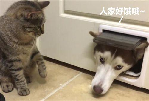 猫咪正在吃饭,身后小门中探出一只狗头:吓得朕都噎着了