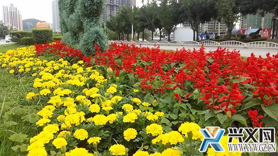 兴义市园林绿化管理中心对城区主干道更换花卉 喜迎山旅会