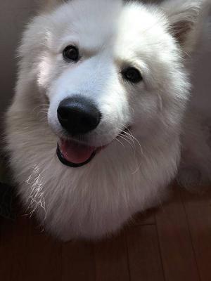 萨摩耶狗狗皮肤病怎么治疗呢?