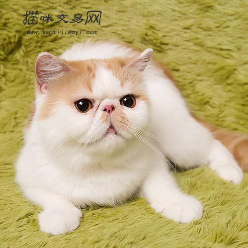 加菲猫——花色,品相挑选(收集篇)