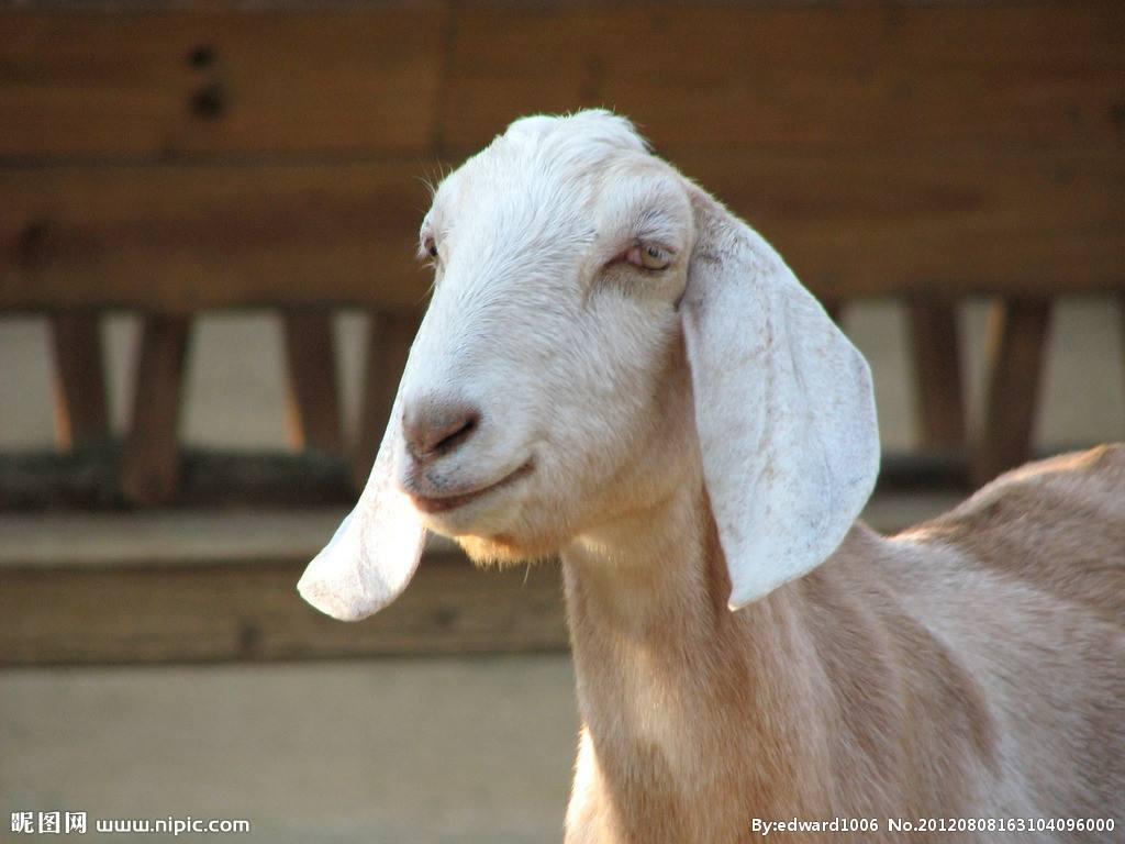 羊小反刍最快治疗方法