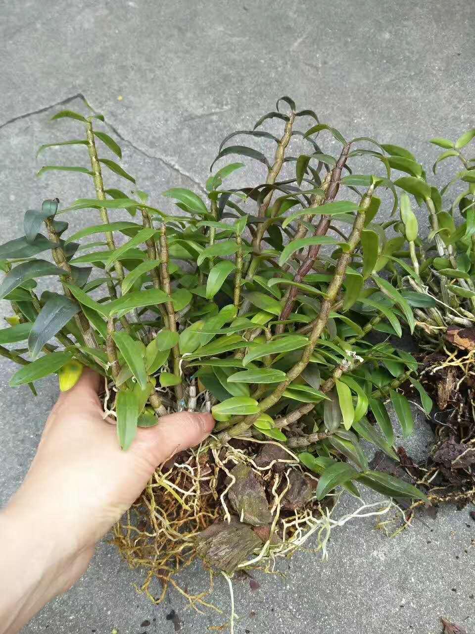 霍山铁皮石斛种植技术介绍图片