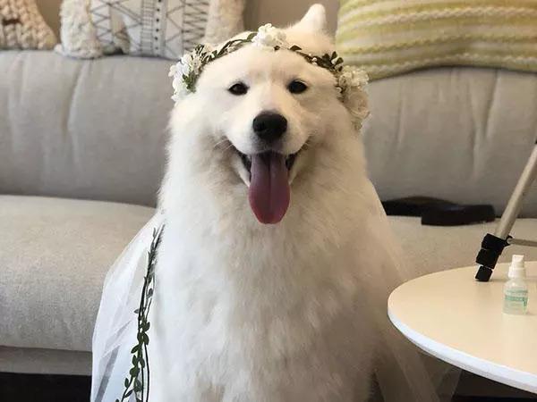 萨摩耶婚纱照_萨摩耶头像
