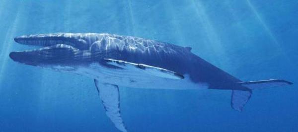 世界上最长的动物!蓝鲸不是第一,第一名可达到55米