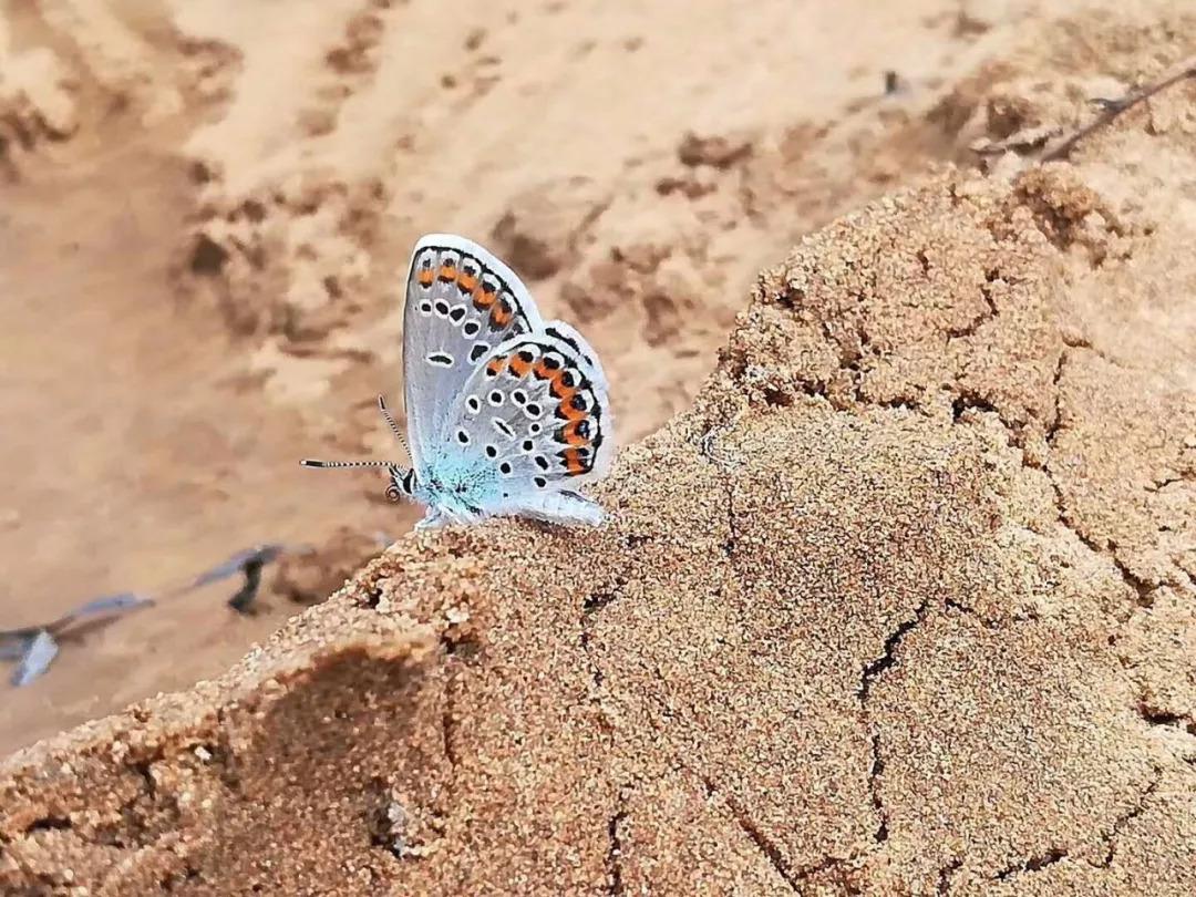 【图】一组蓝灰蝶_生态摄影_蜂鸟论坛-蜂鸟网
