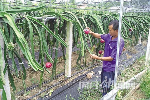 一排排整齐的支架上攀爬着类似仙人掌的植物,成熟的果实挂在上面,前来