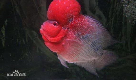 每天认识一种鱼 355 丨罗汉鱼 千条鱼中没有两条鱼的花纹相同