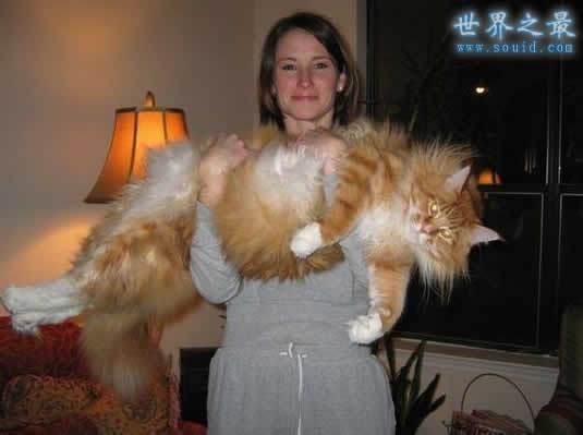 乌克兰巨猫angie_世界上最大的猫,乌克兰巨猫angie(重726斤)