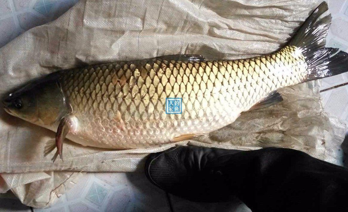 暴雨过后稻田里捡到四十斤大草鱼,浑身漆黑鱼鳞比硬币还大