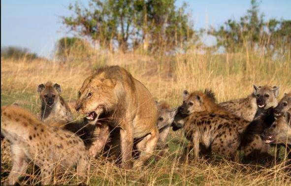 """鬣狗爲什麽被稱爲非洲""""二哥""""? 網友的評價亮了-華夏娛樂360"""