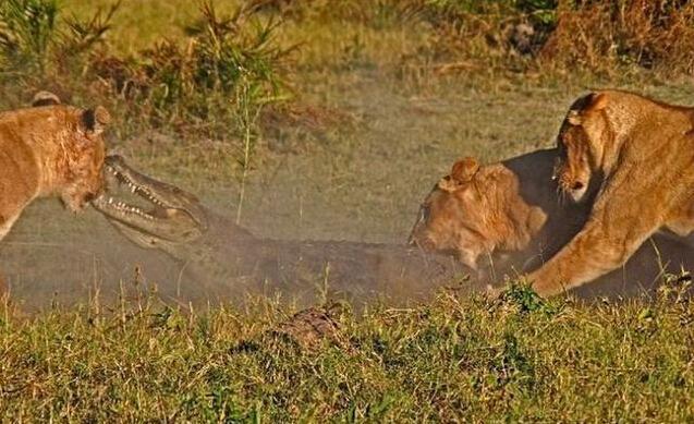 狮子咬死鳄鱼_鳄鱼企图捕食狮子幼崽, 惨遭发飙母狮围殴咬死_驱赶