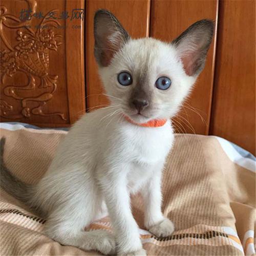 暹罗猫为什么这么便宜图片