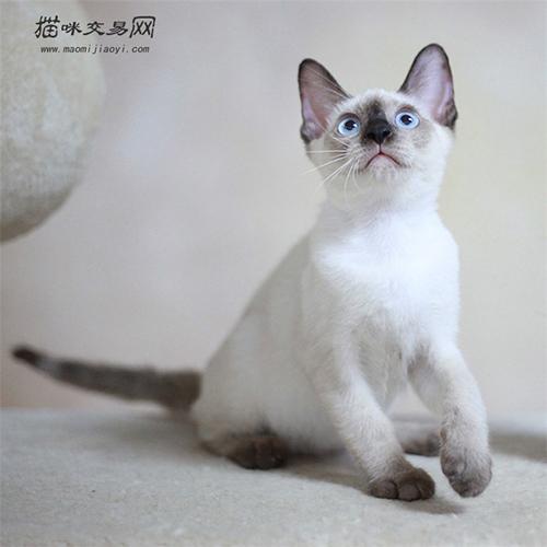 怎么训练暹罗猫叼东西图片