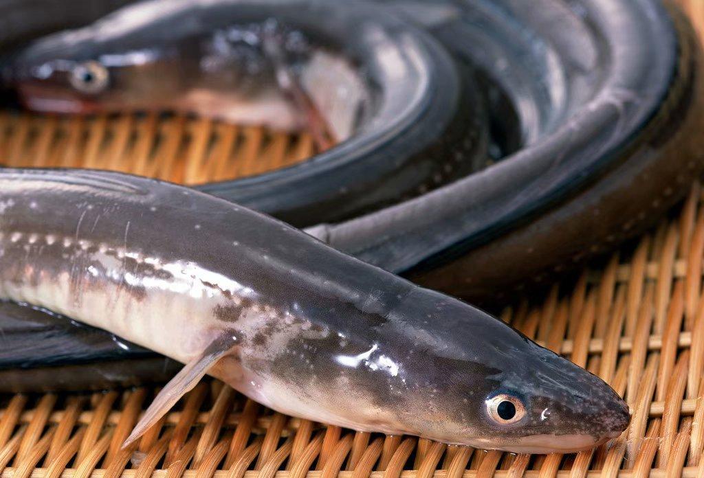 第四 五位:鳝鱼、泥鳅.图片