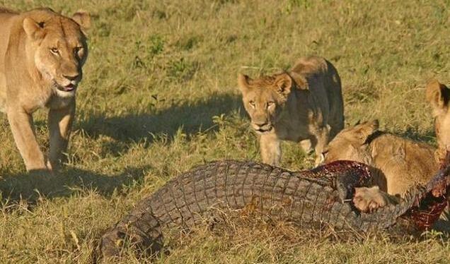 狮子咬死鳄鱼_鳄鱼企图捕食狮子幼崽, 惨遭发飙母狮围殴咬死_搜狐宠物_搜狐网