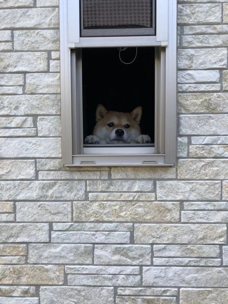 这只小柴犬天天趴在窗户里看风景,呆萌的样子也太可爱