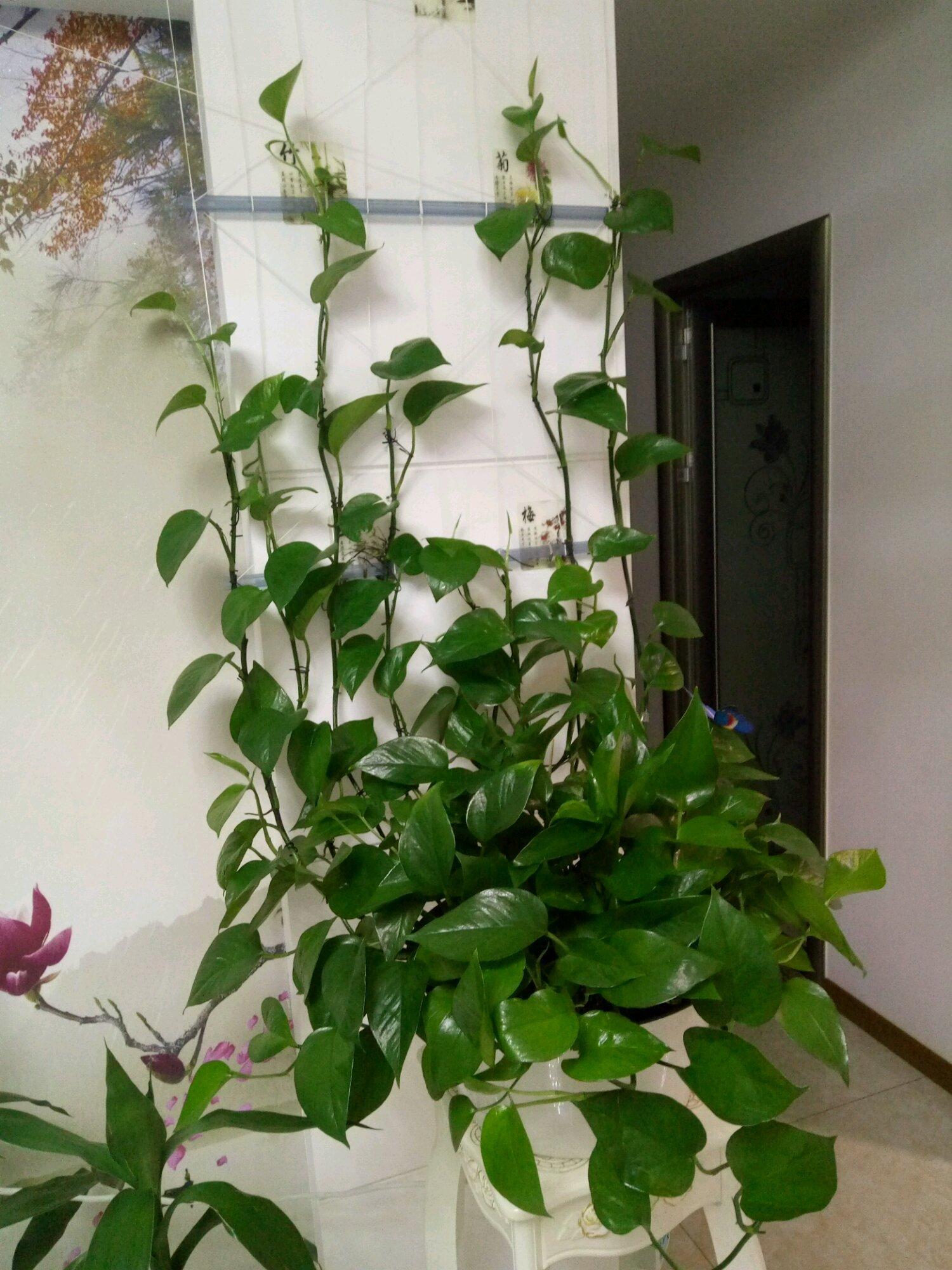 绿萝叶子发黄,做好这4点,叶子绿油油,爬墙速度超快!图片