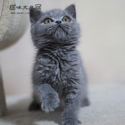 纯种英短蓝猫多少钱图片