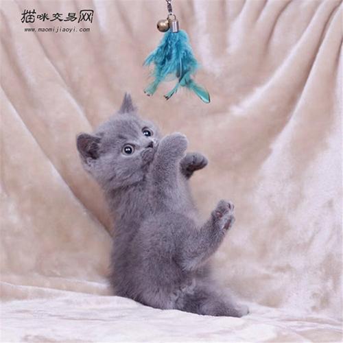 纯种英短蓝猫多少钱一只图片