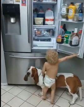 """不到2歲的小主人想去冰箱""""偷""""吃的,狗狗自願充當""""墊腳石""""-華夏娛樂360"""