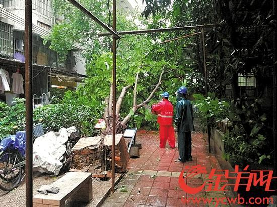 广州11区倒伏倾斜树木7280宗 今日可清理大部分倒树