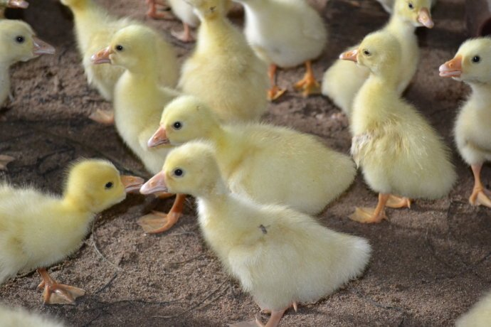 鹅怎么治疗鹅流感,鹅流感怎么办,鹅流感治疗