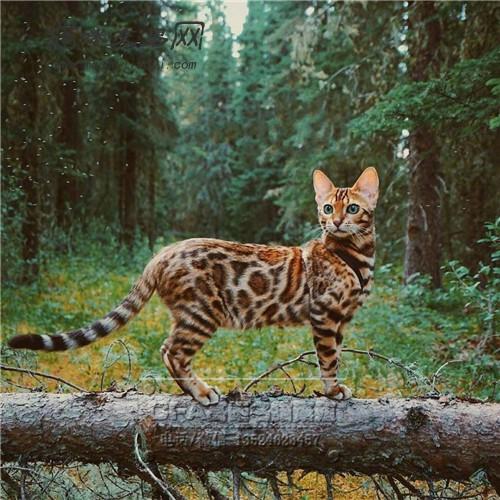 养孟加拉豹猫_孟加拉豹猫价格怎样 一般多少钱一只? 适合家养么_猫咪
