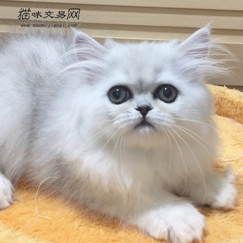 金吉拉猫的价格多少钱?_金吉拉猫图片大全_金吉拉猫