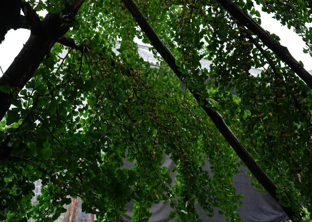 中国第一银杏村,400年以上老树达700棵,贵时能卖50一斤