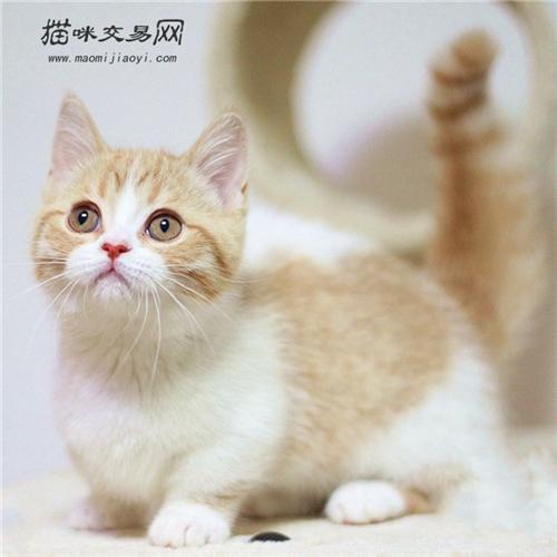 曼基康矮脚猫怎么养?_曼基康矮脚猫性格好吗_曼基康矮脚猫最贵吗